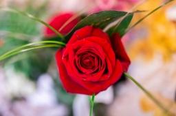 Crvena ruža