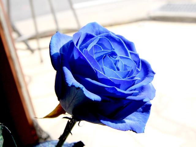 plave ruze