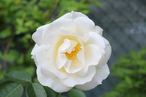 Bele ruže su nas spojile