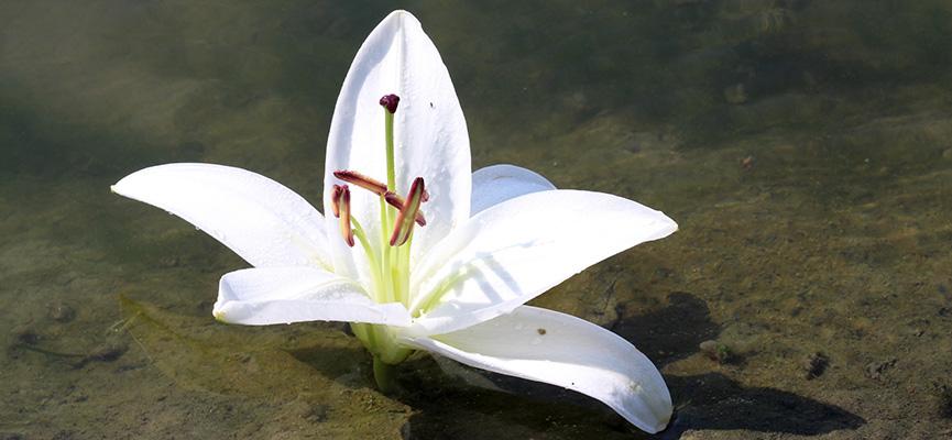 Ljiljan je odličan izbor za rođendanski buket cveća rođenim u julu