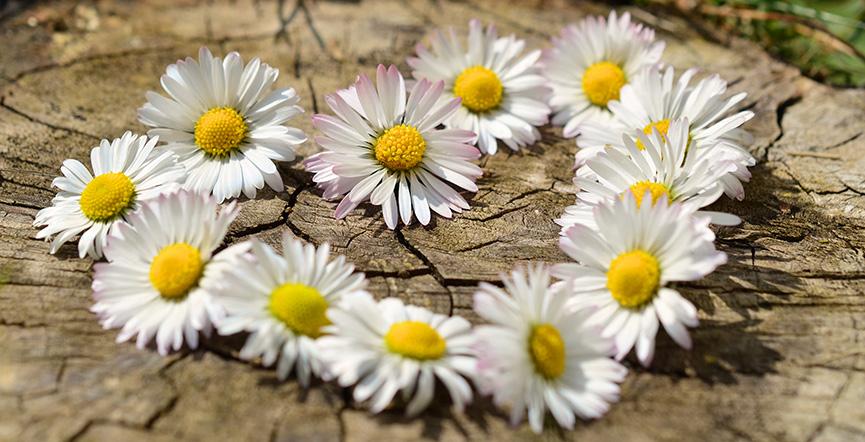 Bele rade su najlepše cveće za poklon rođenim u aprilu